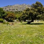 Los Llanos de la Sierra de Líbar...y visita a la Boca del Gato. Las encinas se cultivan principalmente por sus frutos, las conocidas bellotas. Son unos glandes de color marrón oscuro cuando maduran (antes, lógicamente verdes), brillantes y con una cúpula característica.